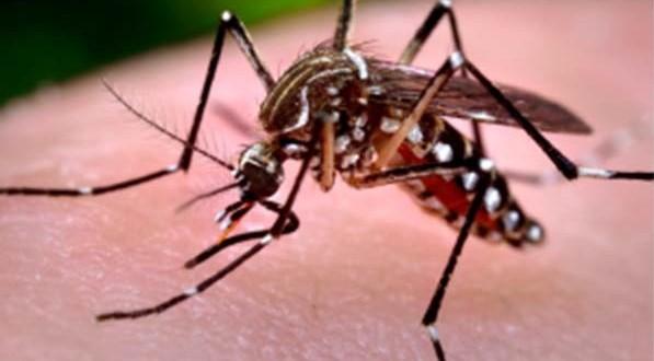 Aedes-aegypti-